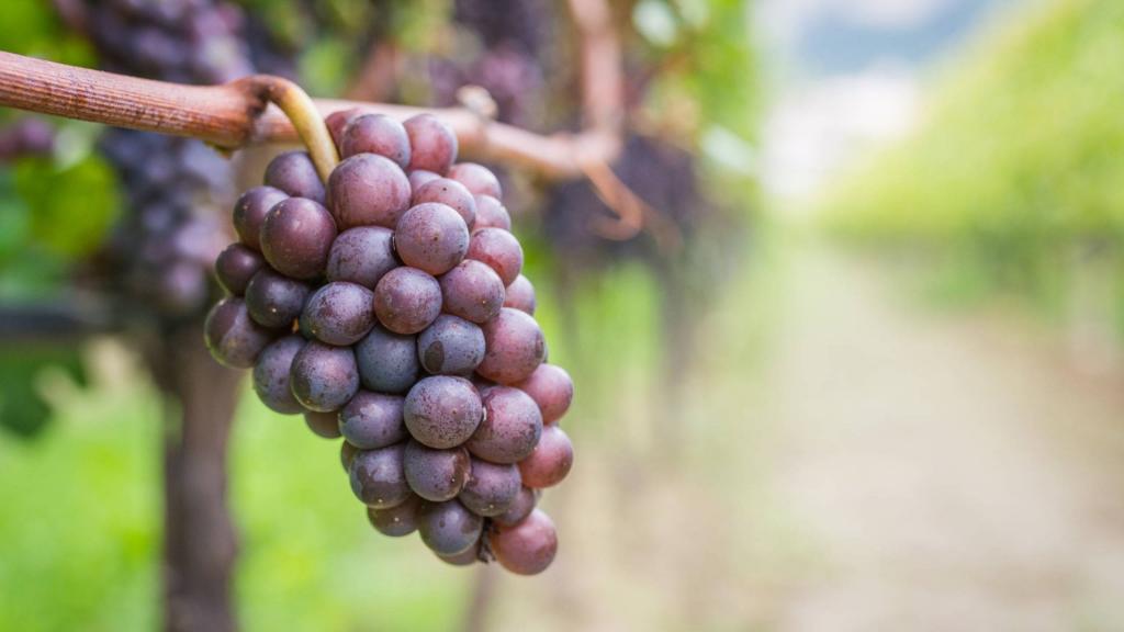 Pinot Gris vs Pinot Grigio